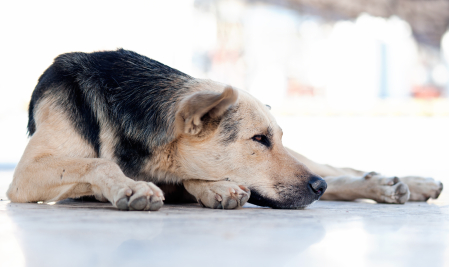 anti-inflammation treatment for dogs