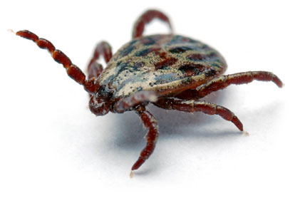 facts about ticks and dogs